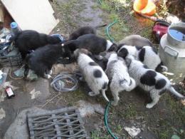 8 kiskutya gazdát keres