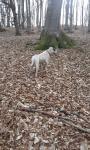 Argentin-Dog kutya