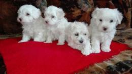Bichon bolognese kiskutyák