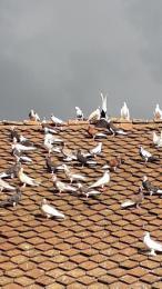 Birminghami pergo galambok