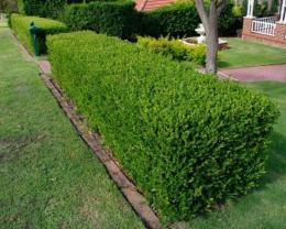 Bukszus (buxus sempervirens)