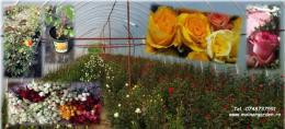 Cserepes és vágott rózsa