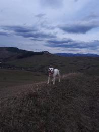 Fehér pitbull kan fedez