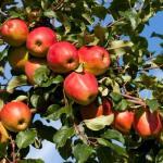 Gyümölcsfa csemeték kertészetből