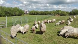 Juhok bárányok berbécsek