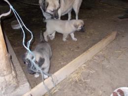 Kangal kutyakolykek