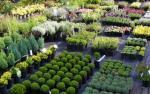 Kertészetből sövény cserjék 7 ron/db