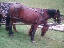 Két hat éves ló