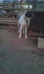 Közèp-ázsiai ès Kangal kutya keverèk