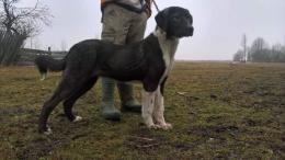 Közèp Ázsiai kölyök kutya