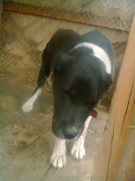 Kozep azsiai kutya