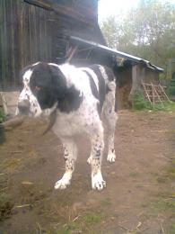 Kozep azsiai kutya kolyok