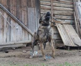 Középázsiai kutya