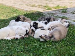 Középázsiai kutyakölykök