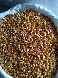 Kukorica 0.95bani/kg