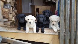 Labrador Retriever kiskutyák
