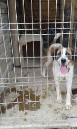 Moszkvai őr kutya