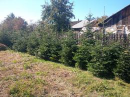 Nordmand fenyő udvar-kert dísze, gyökerestől-cserépbe is