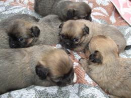 Palotapincsi kiskutyák