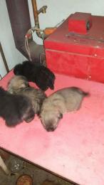 Pincsi kiskutyák