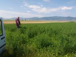 Tavalyi termésű, vékony szárú lucerna, ömlesztett