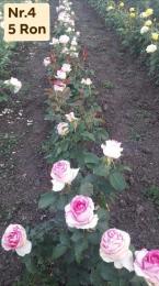 Vagot Rozsa