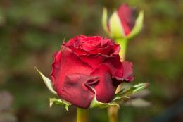 Vágott rózsa